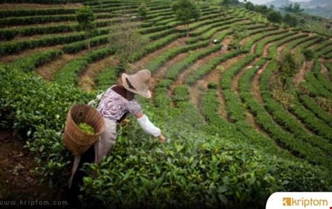 Çin'in Yunnan Eyaleti Çay Zinciri Tedarikini İzlemek İçin Blockchain Kullanacak